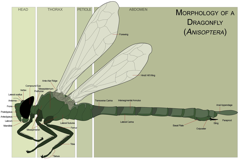 0 Libellulidae Female Dragonfly morphology Anizoptera 0A
