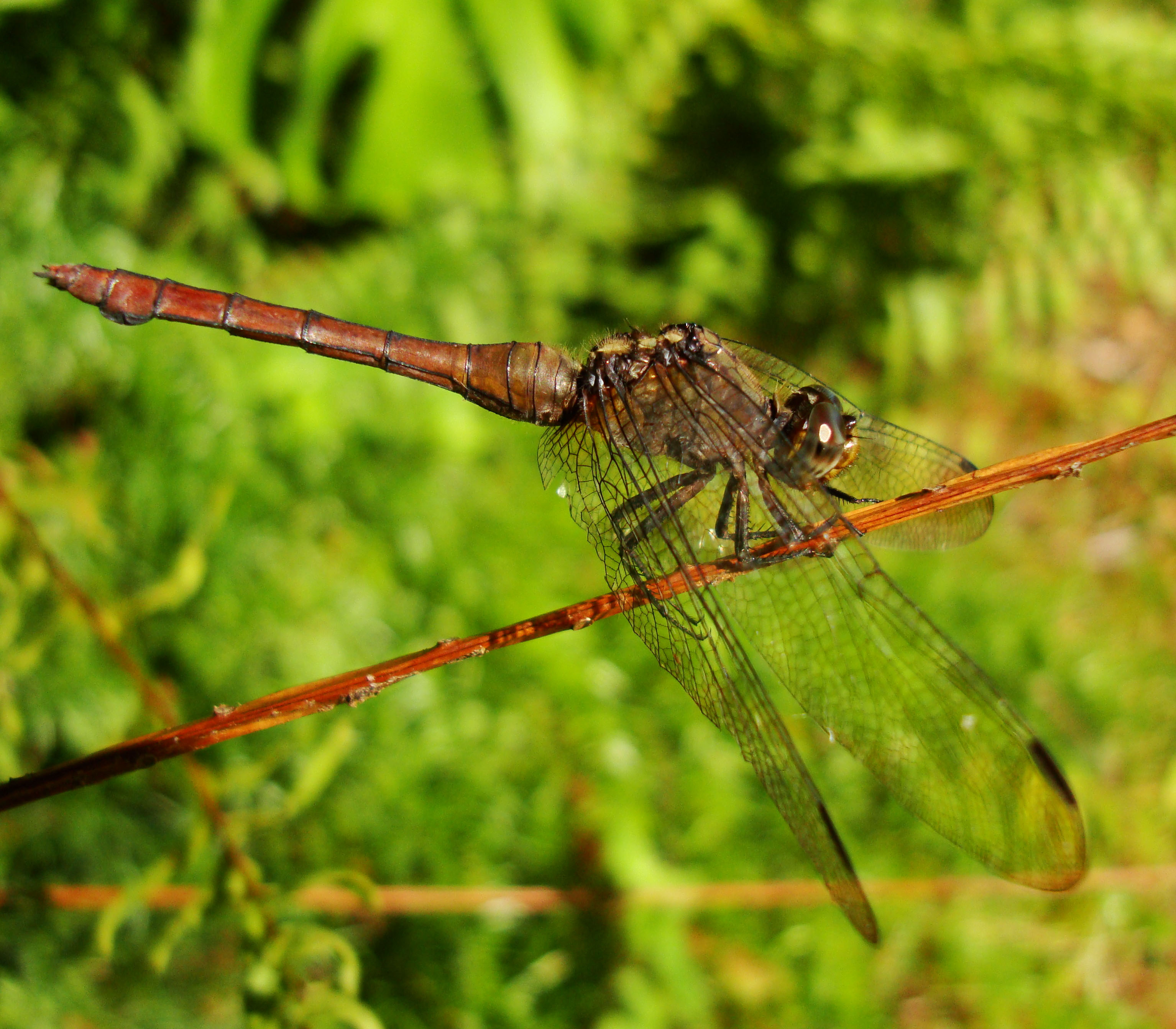 Libellulidae Fiery Skimmer Dragonfly Orthetrum villosovittatum female 02