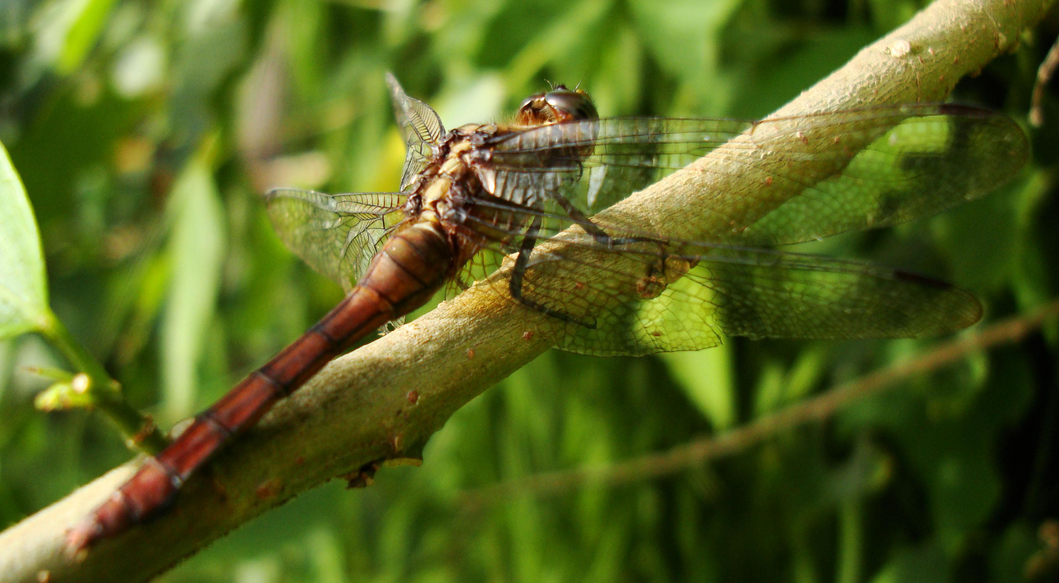 Libellulidae Fiery Skimmer Dragonfly Orthetrum villosovittatum female 08