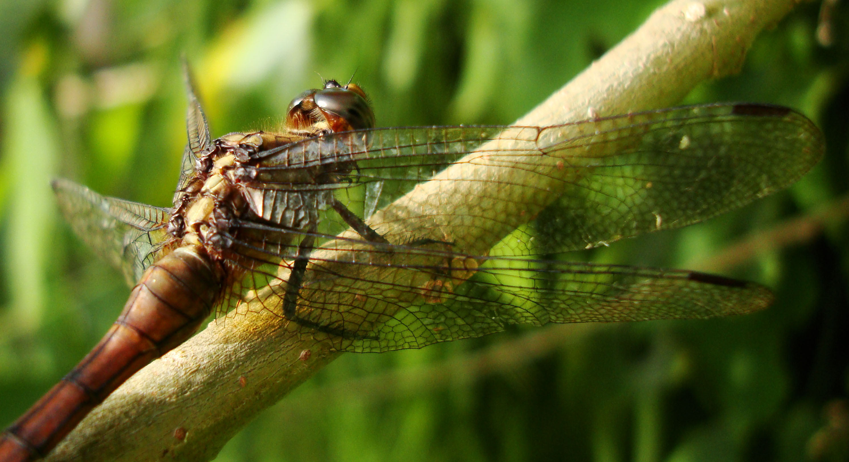 Libellulidae Fiery Skimmer Dragonfly Orthetrum villosovittatum female 09
