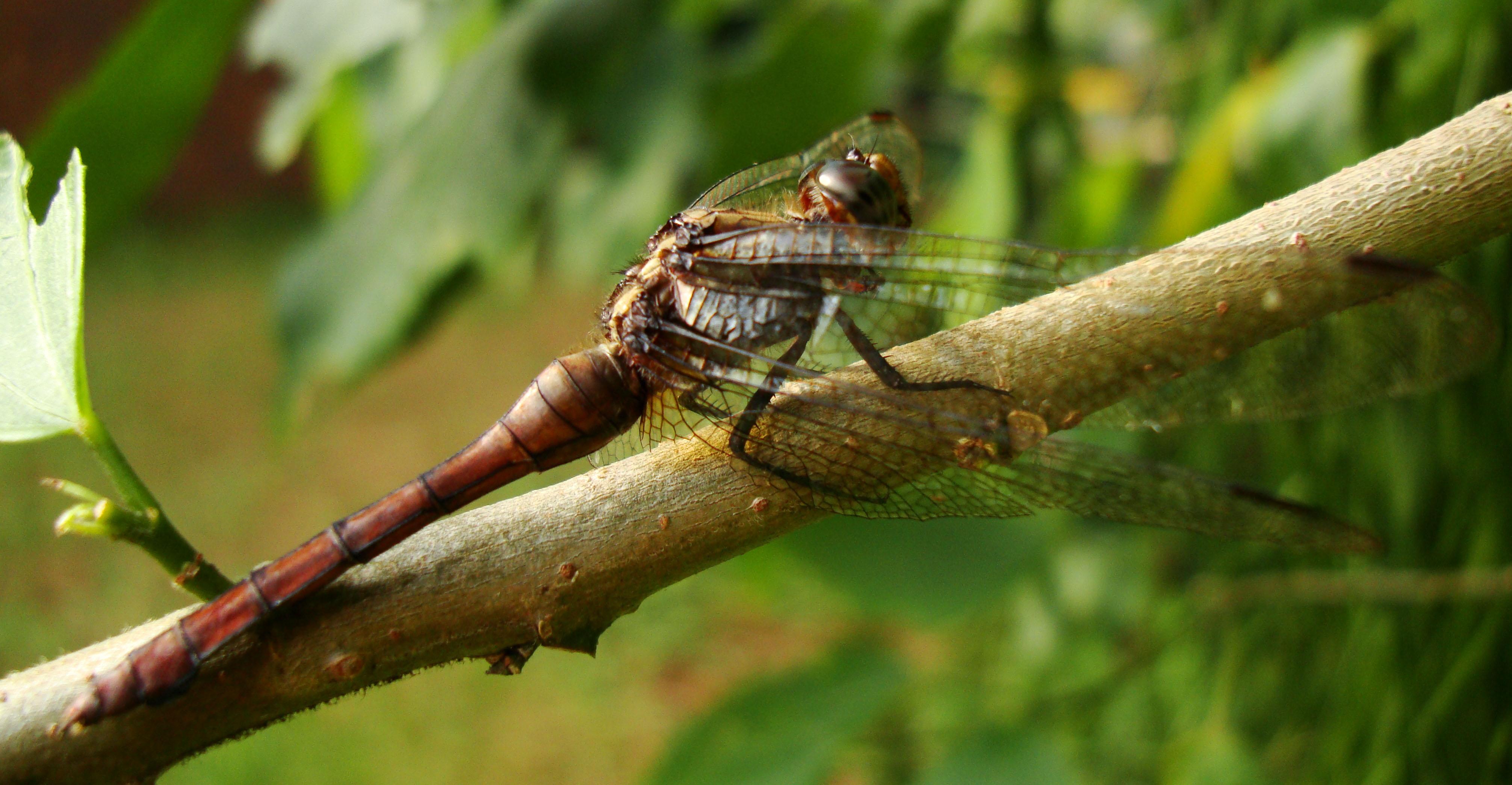 Libellulidae Fiery Skimmer Dragonfly Orthetrum villosovittatum female 10