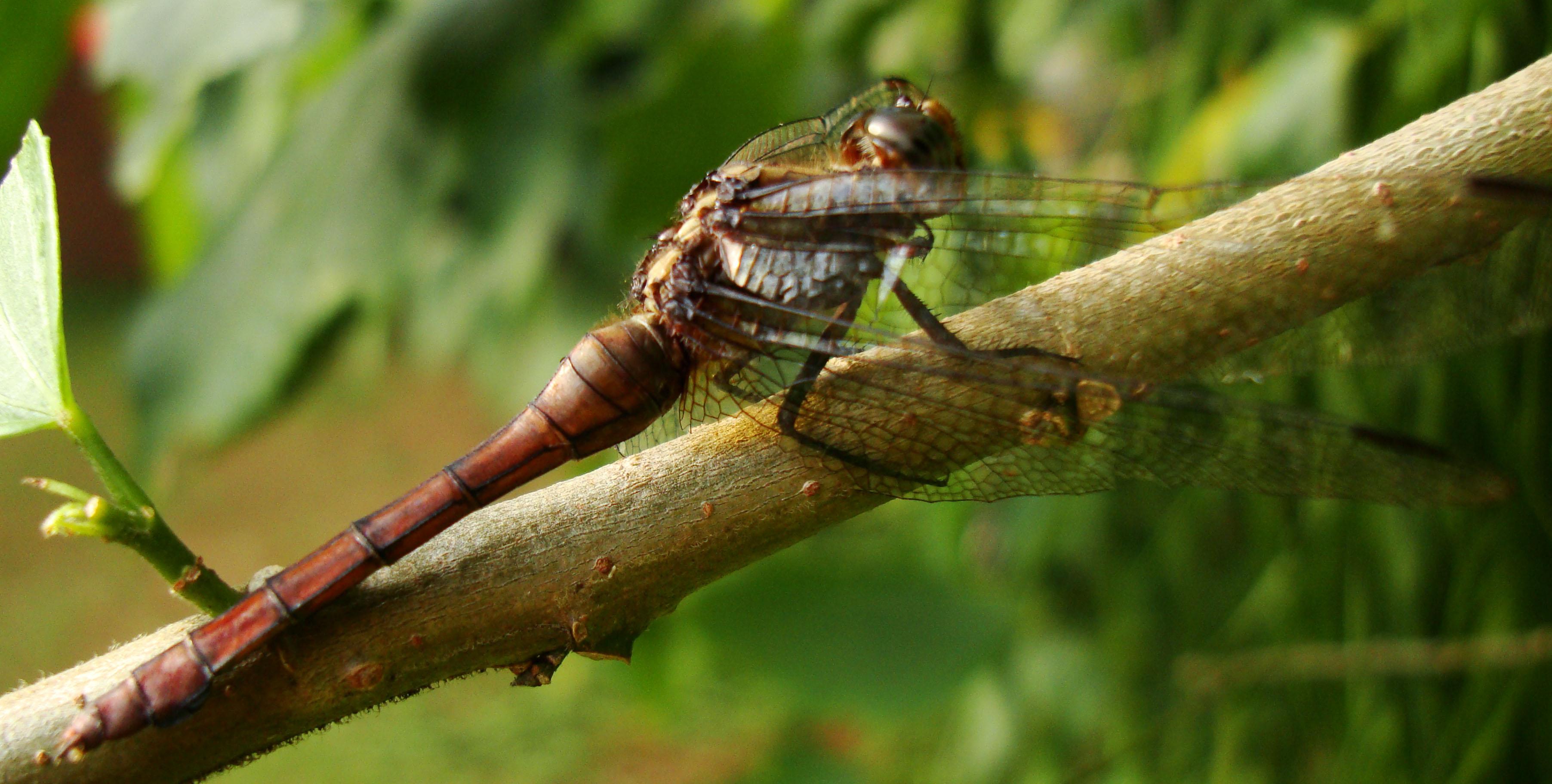 Libellulidae Fiery Skimmer Dragonfly Orthetrum villosovittatum female 11