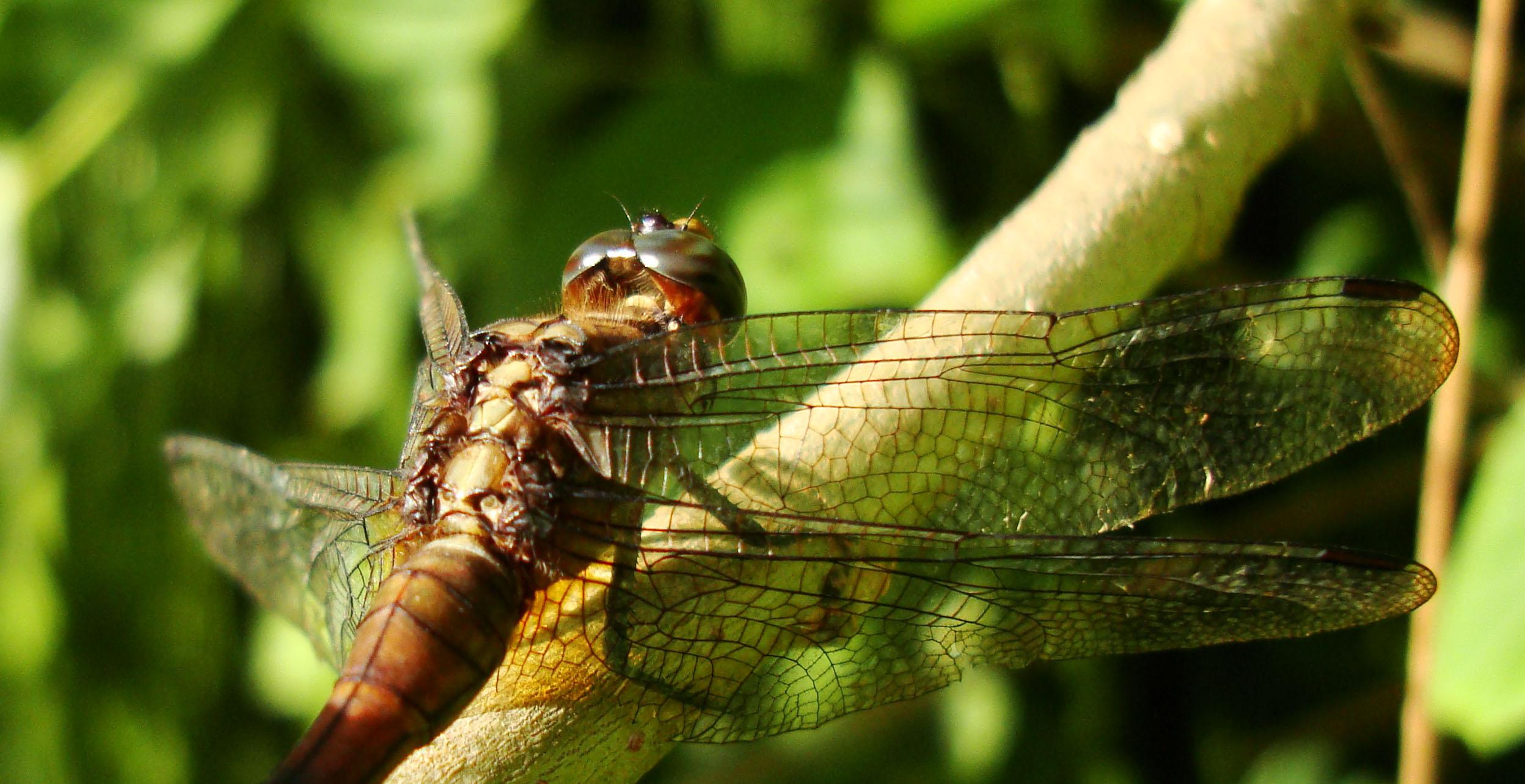 Libellulidae Fiery Skimmer Dragonfly Orthetrum villosovittatum female 13