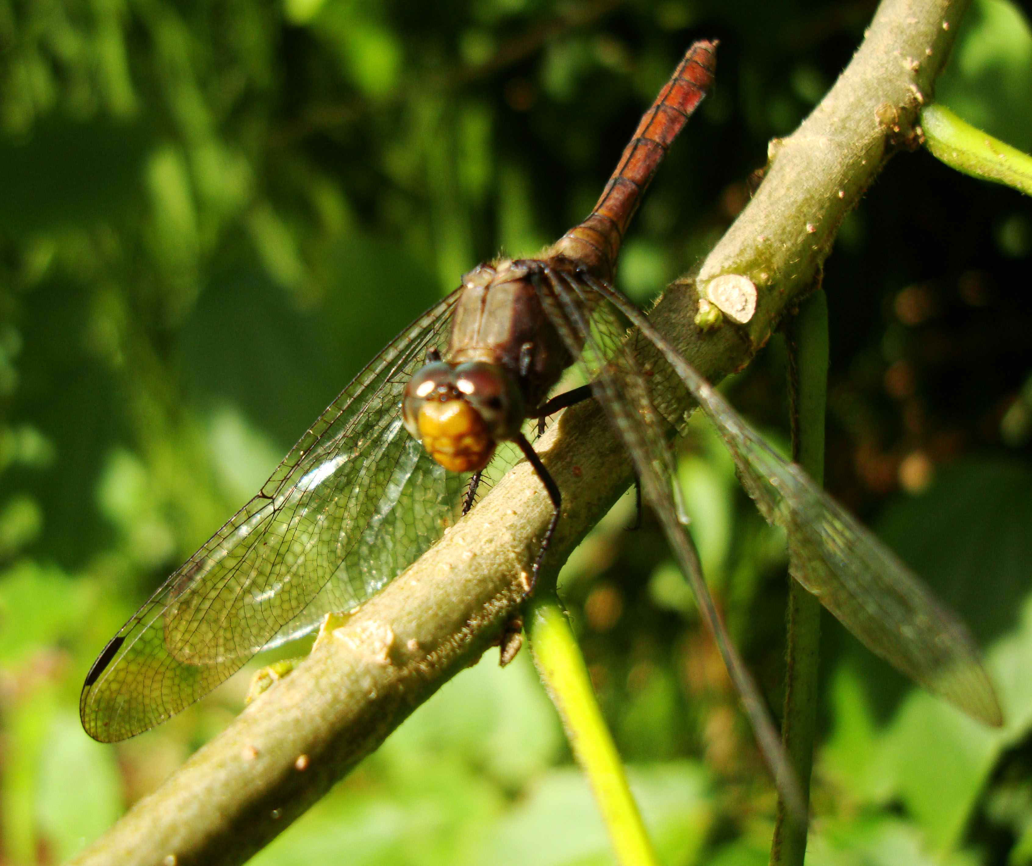 Libellulidae Fiery Skimmer Dragonfly Orthetrum villosovittatum female 15