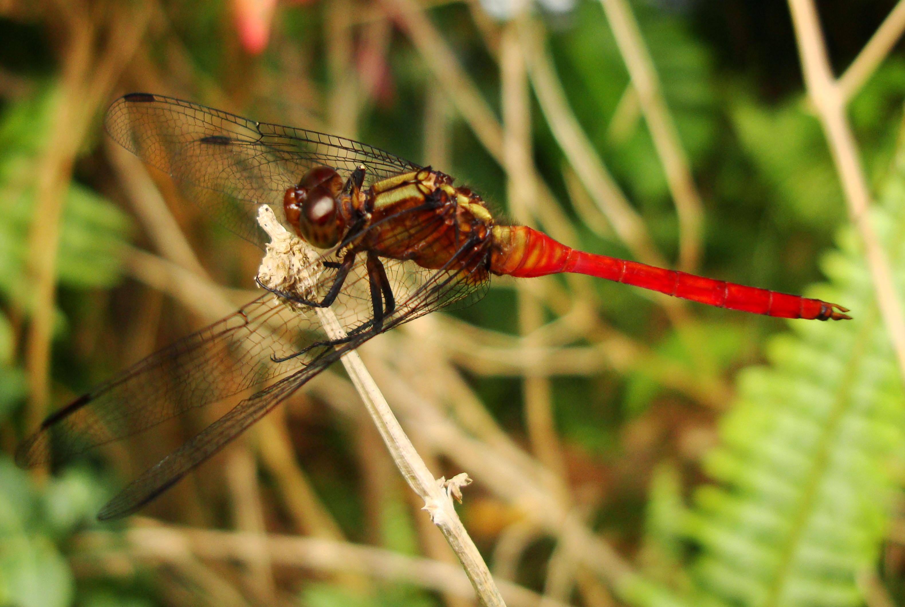 Libellulidae Fiery Skimmer Dragonfly Orthetrum villosovittatum male 05