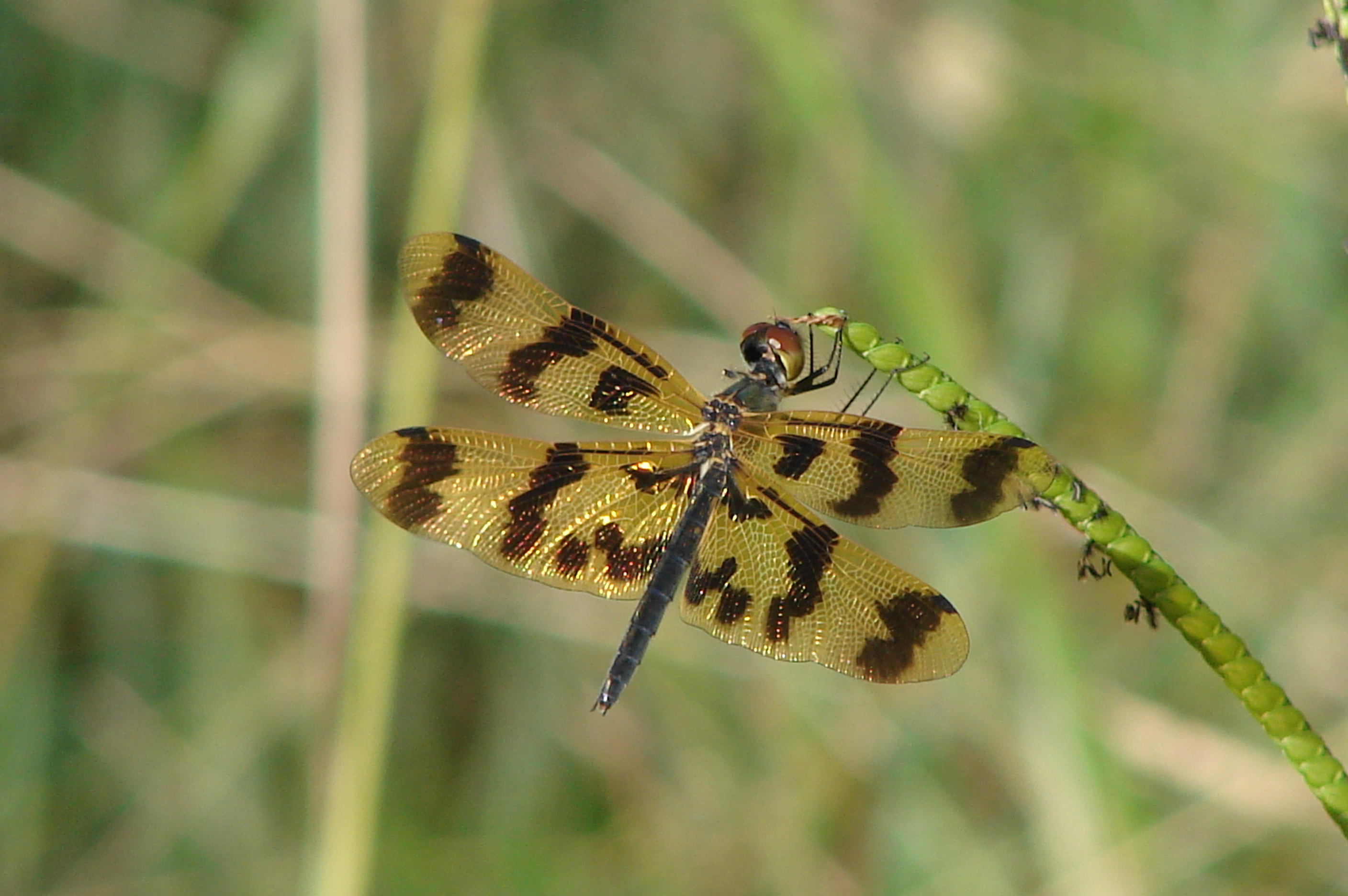 Libellulidae Graphic Flutterer Dragonfly Rhyothemis graphiptera 01