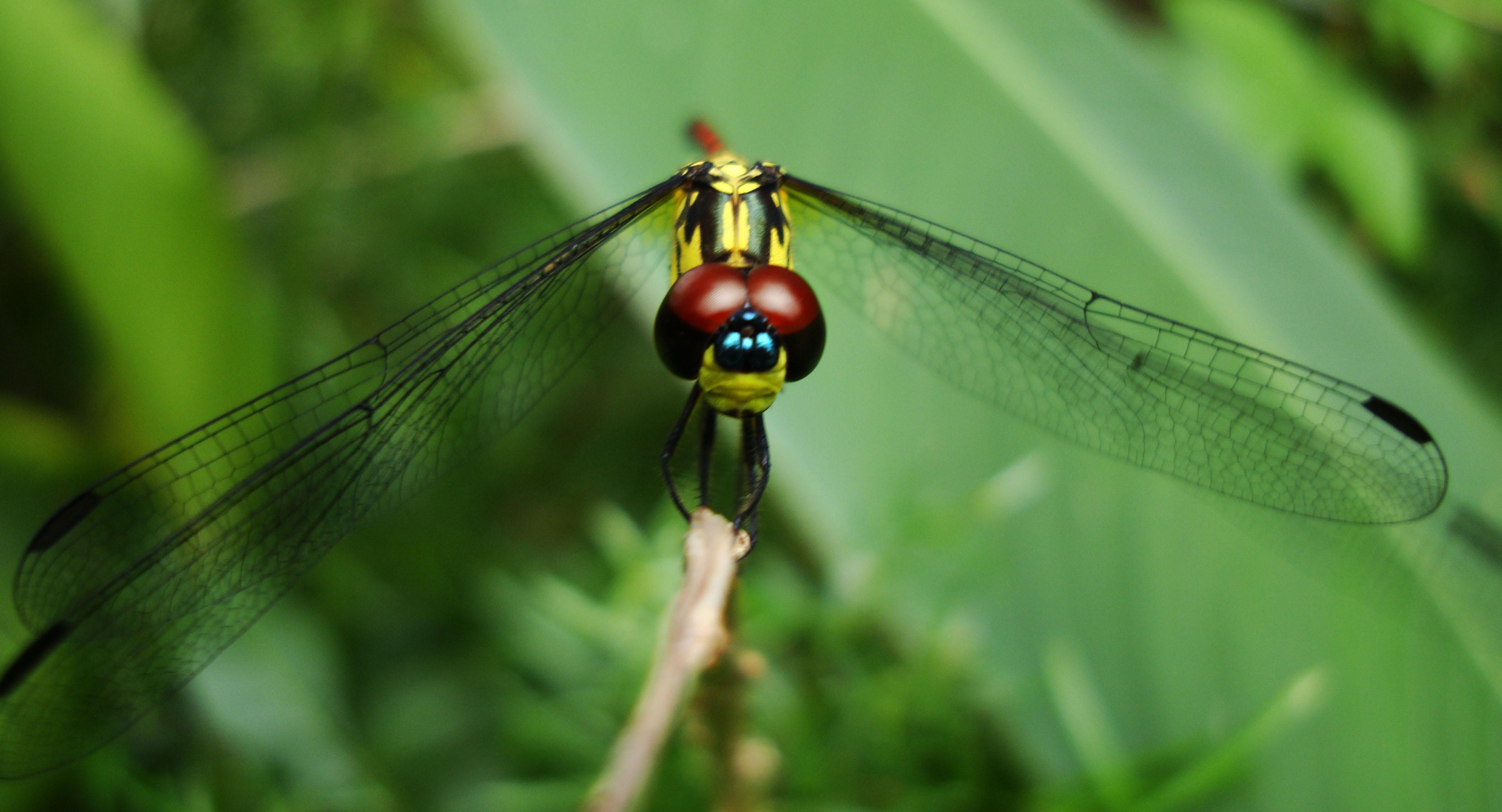 Libellulidae Red Swampdragon Agrionoptera insignis allogenes Sunshine Coast Qld Australia 018