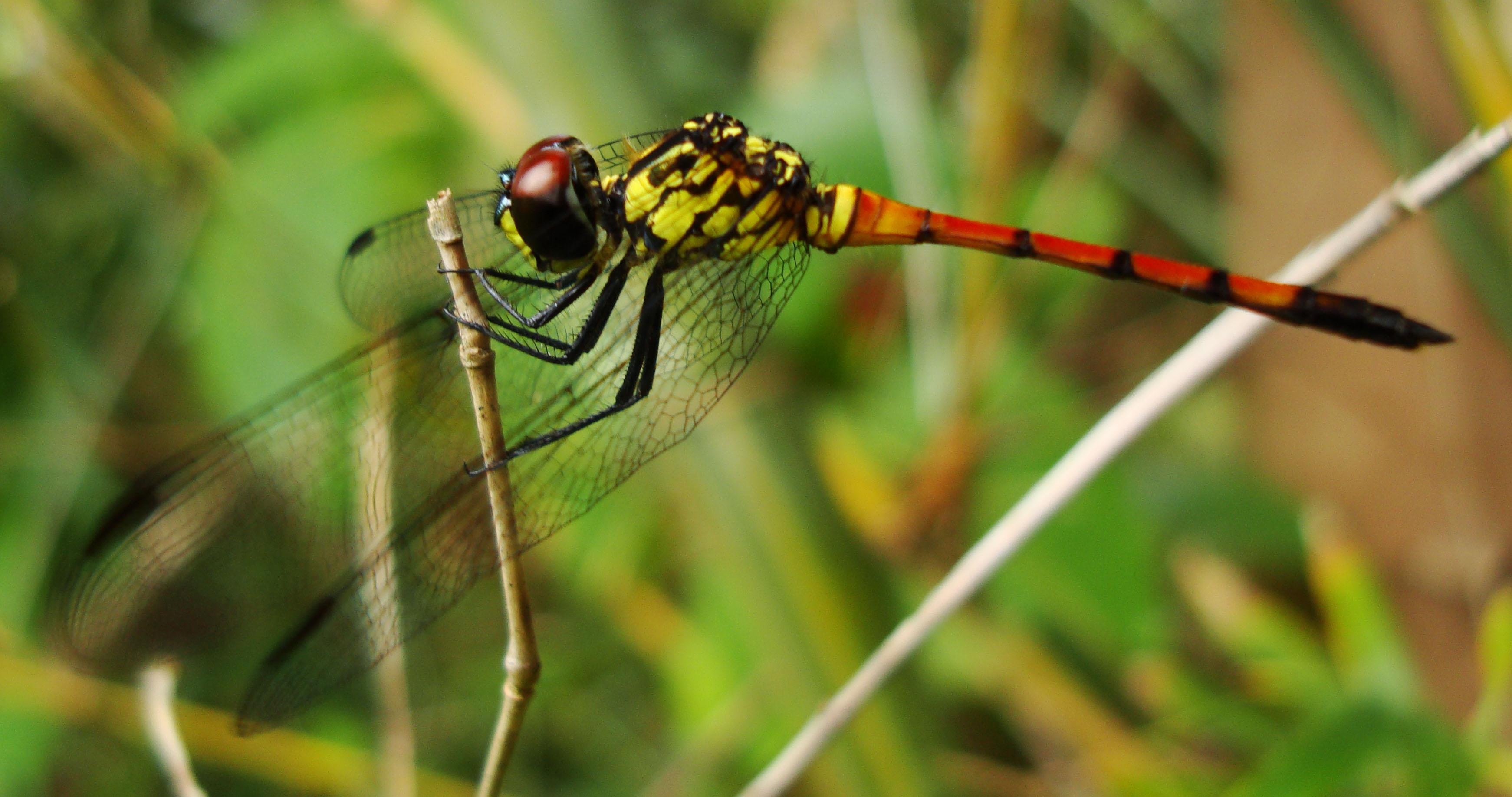 Libellulidae Red Swampdragon Agrionoptera insignis allogenes Sunshine Coast Qld Australia 034