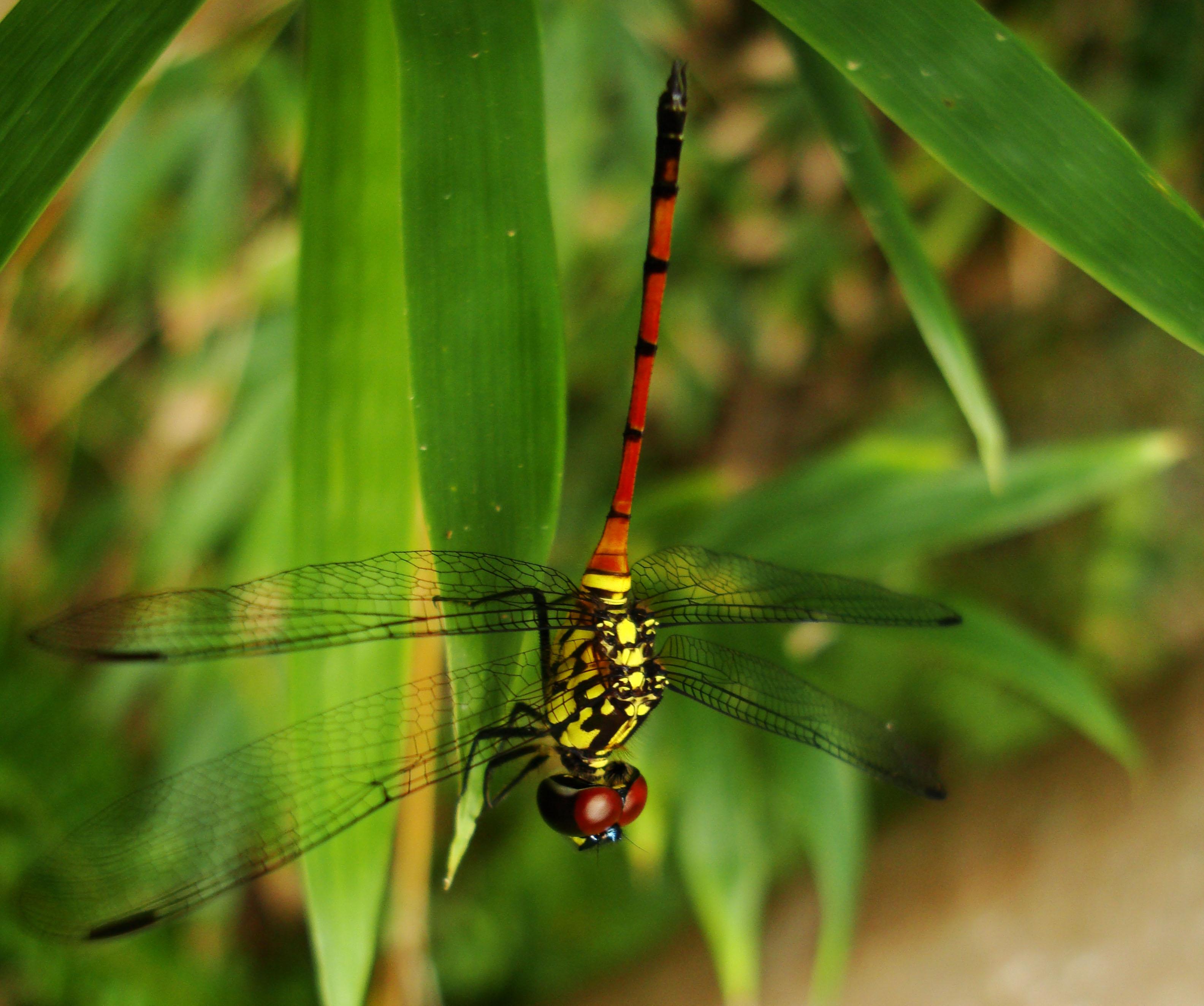 Libellulidae Red Swampdragon Agrionoptera insignis allogenes Sunshine Coast Qld Australia 038