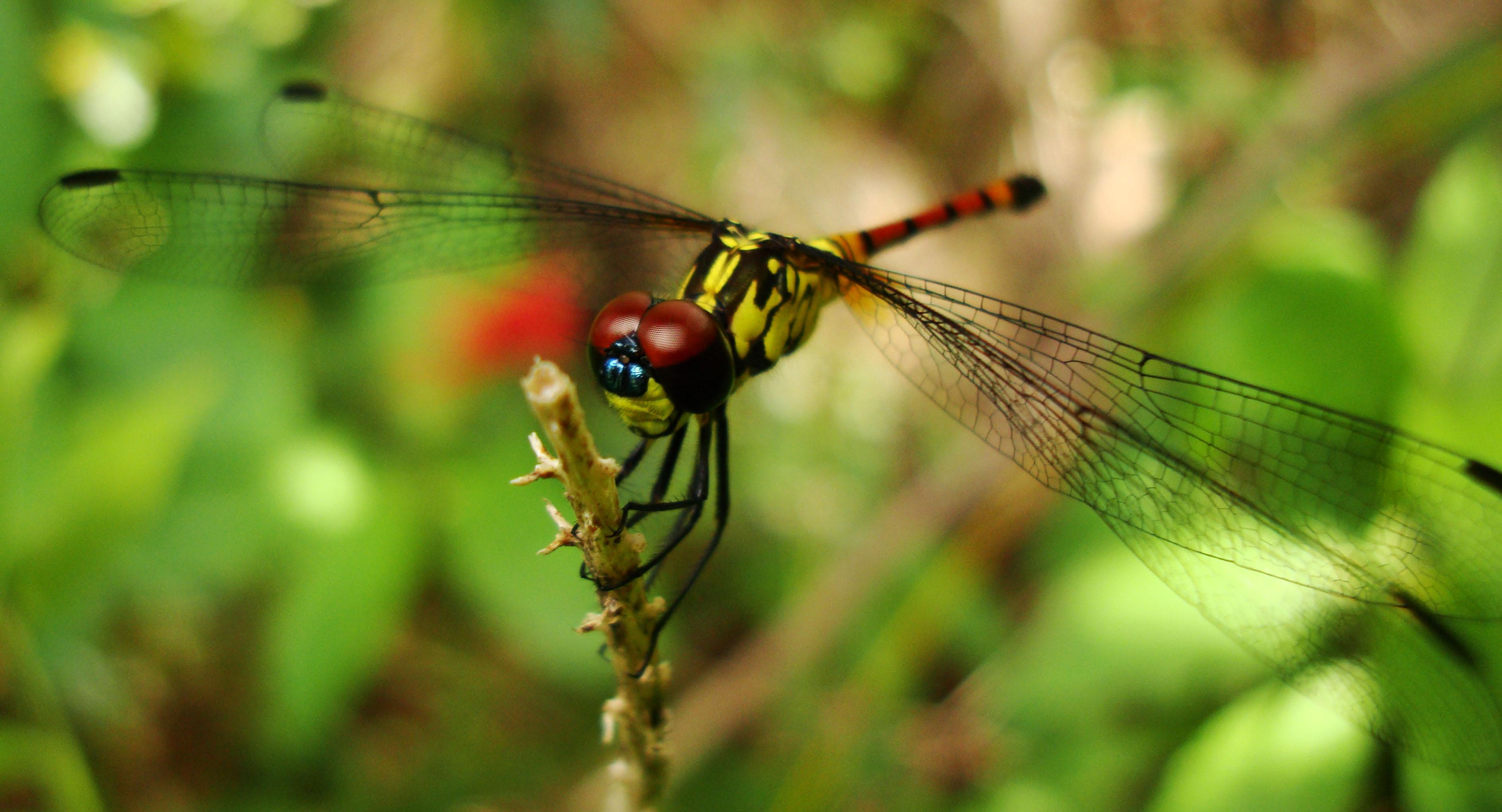 Libellulidae Red Swampdragon Agrionoptera insignis allogenes Sunshine Coast Qld Australia 067