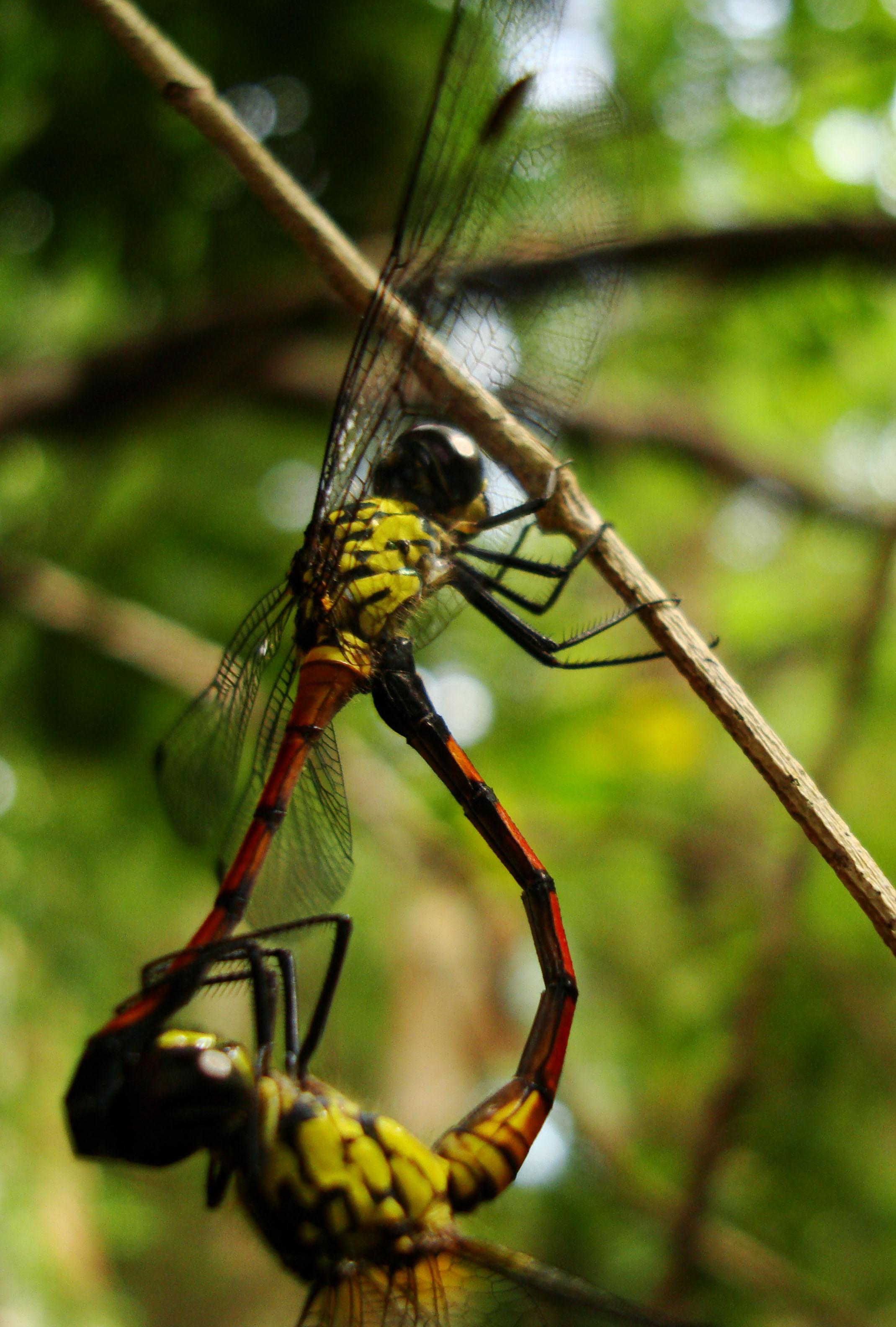 Libellulidae Red Swampdragon Agrionoptera insignis allogenes Sunshine Coast Qld Australia 075