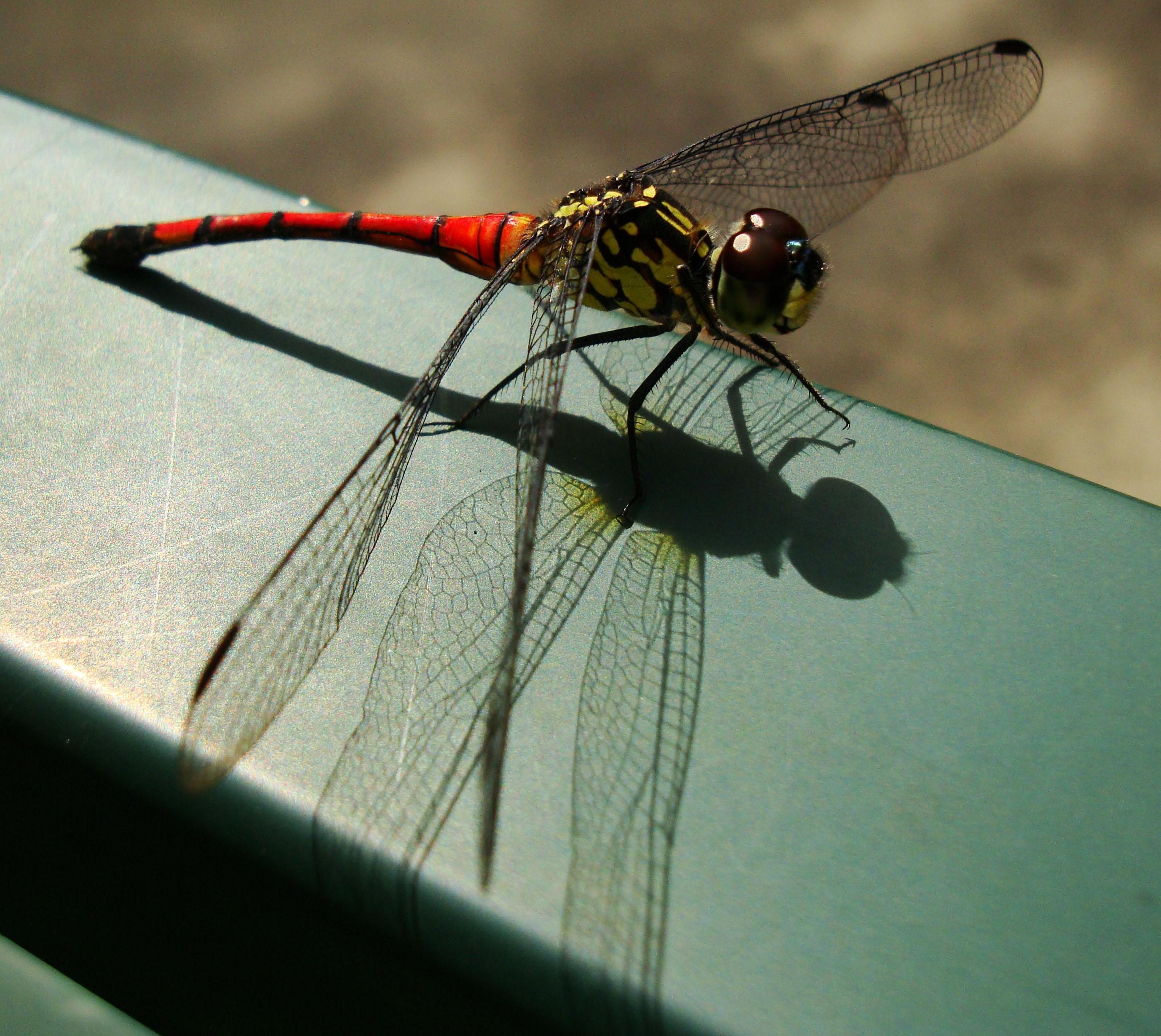 Libellulidae Red Swampdragon Agrionoptera insignis allogenes Sunshine Coast Qld Australia 100