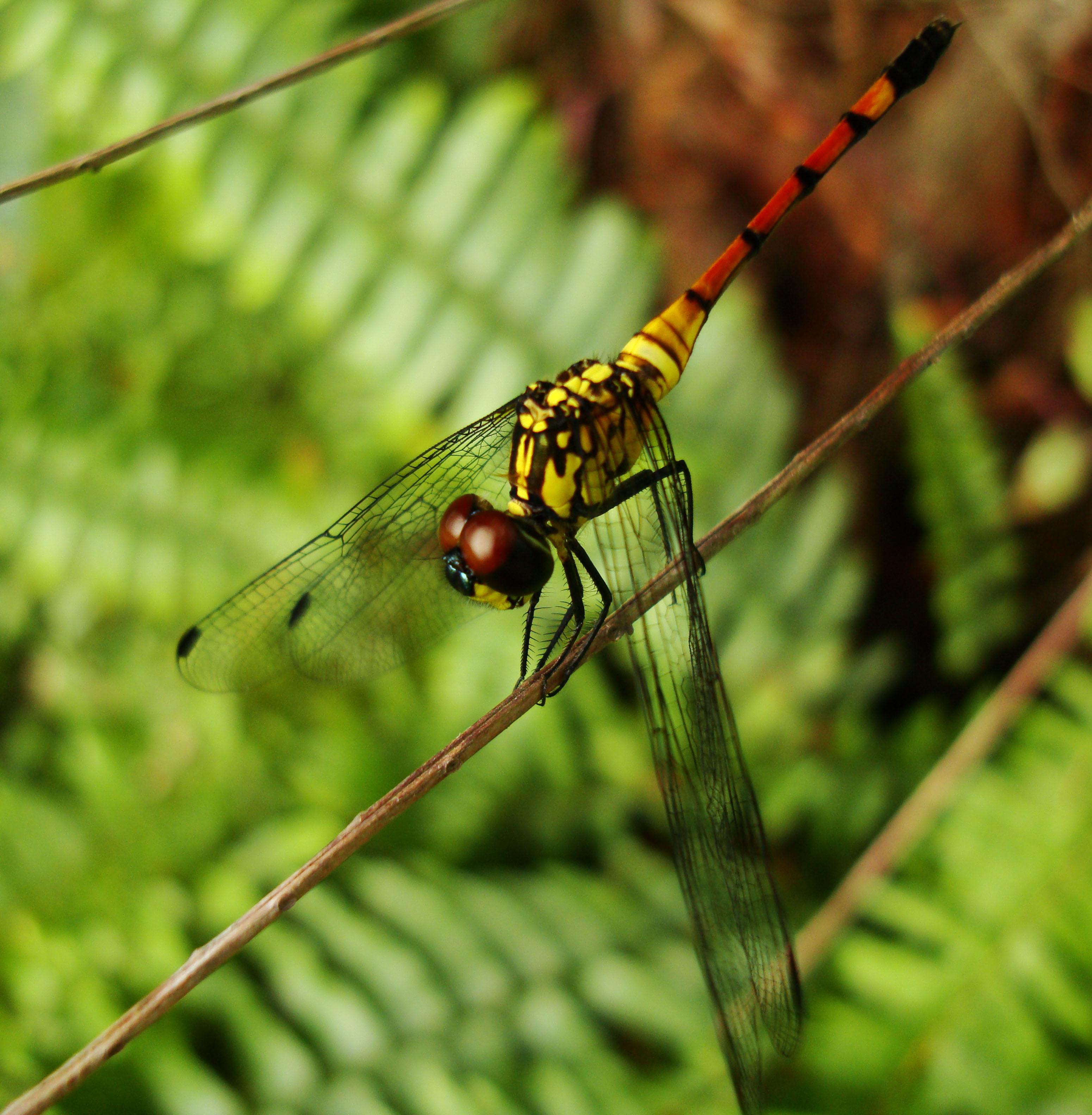 Libellulidae Red Swampdragon Agrionoptera insignis allogenes Sunshine Coast Qld Australia 115