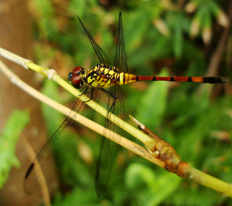 Libellulidae Red Swampdragon Agrionoptera insignis allogenes Sunshine Coast Qld Australia 116
