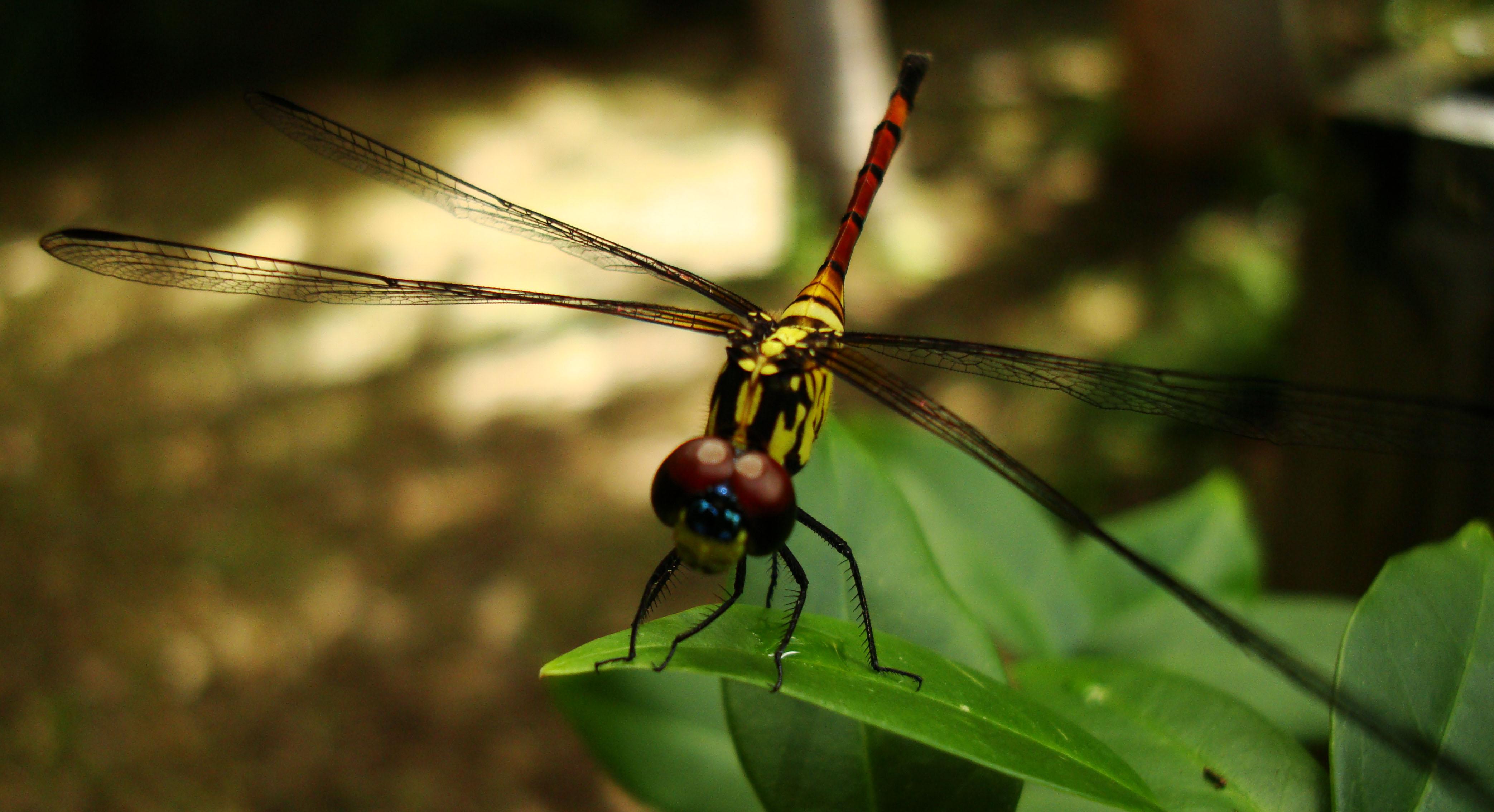Libellulidae Red Swampdragon Agrionoptera insignis allogenes Sunshine Coast Qld Australia 119