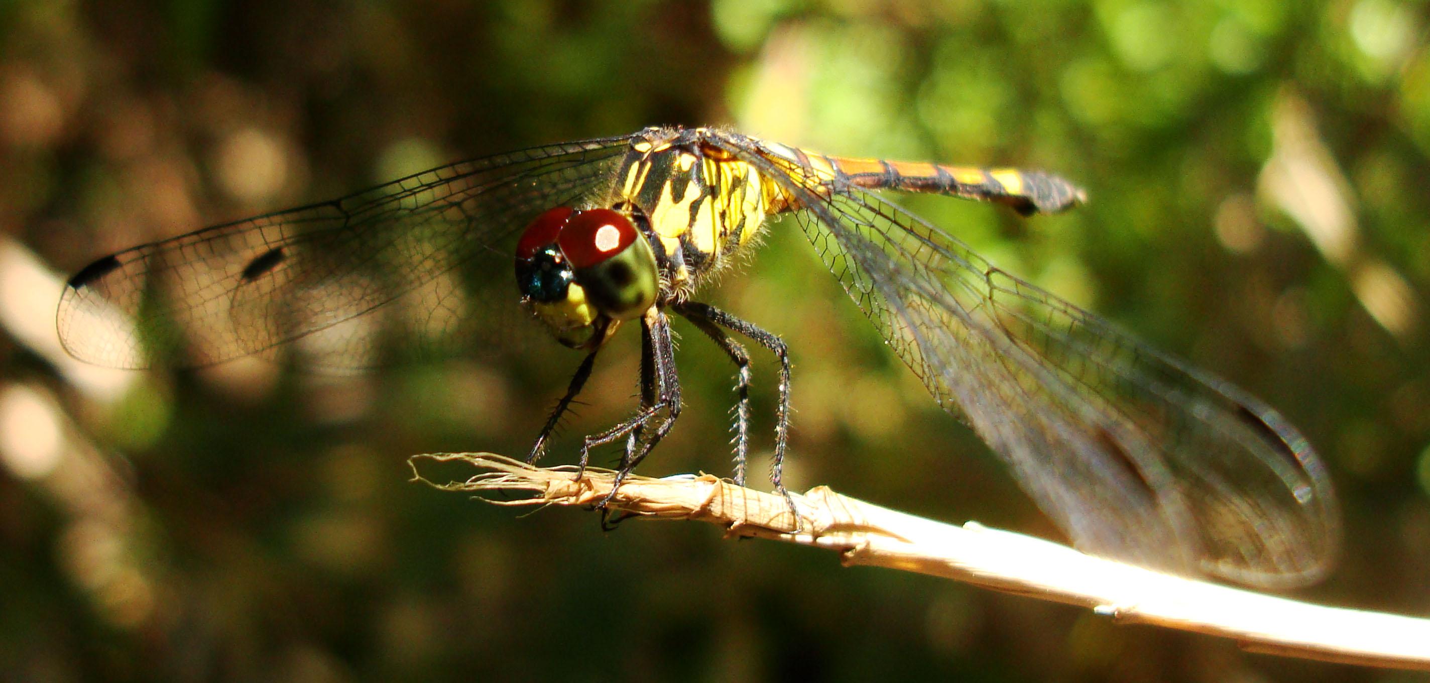 Libellulidae Red Swampdragon Agrionoptera insignis allogenes Sunshine Coast Qld Australia 123