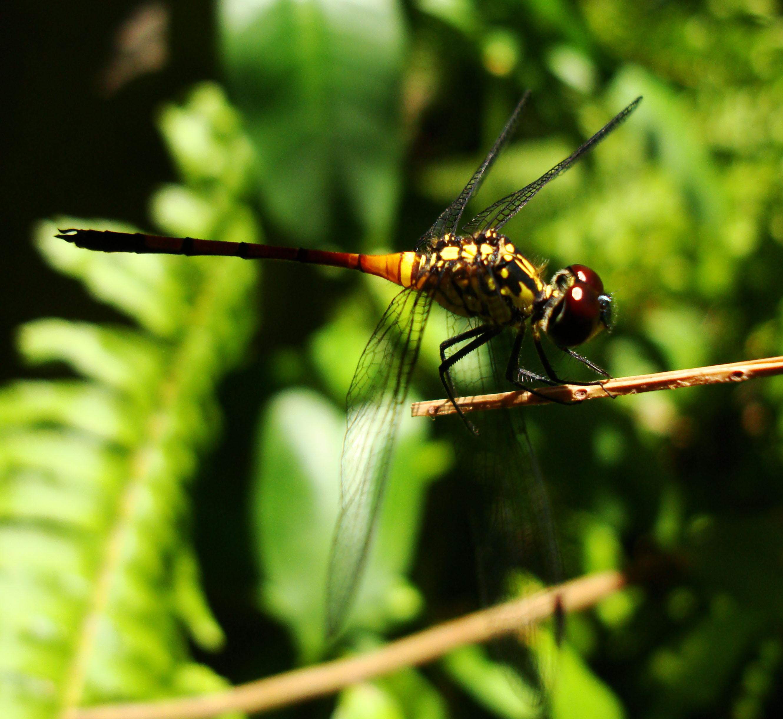 Libellulidae Red Swampdragon Agrionoptera insignis allogenes Sunshine Coast Qld Australia 131