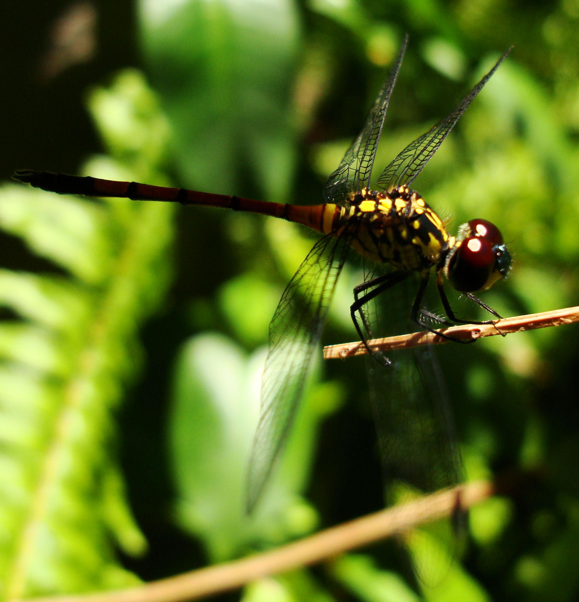 Libellulidae Red Swampdragon Agrionoptera insignis allogenes Sunshine Coast Qld Australia 132