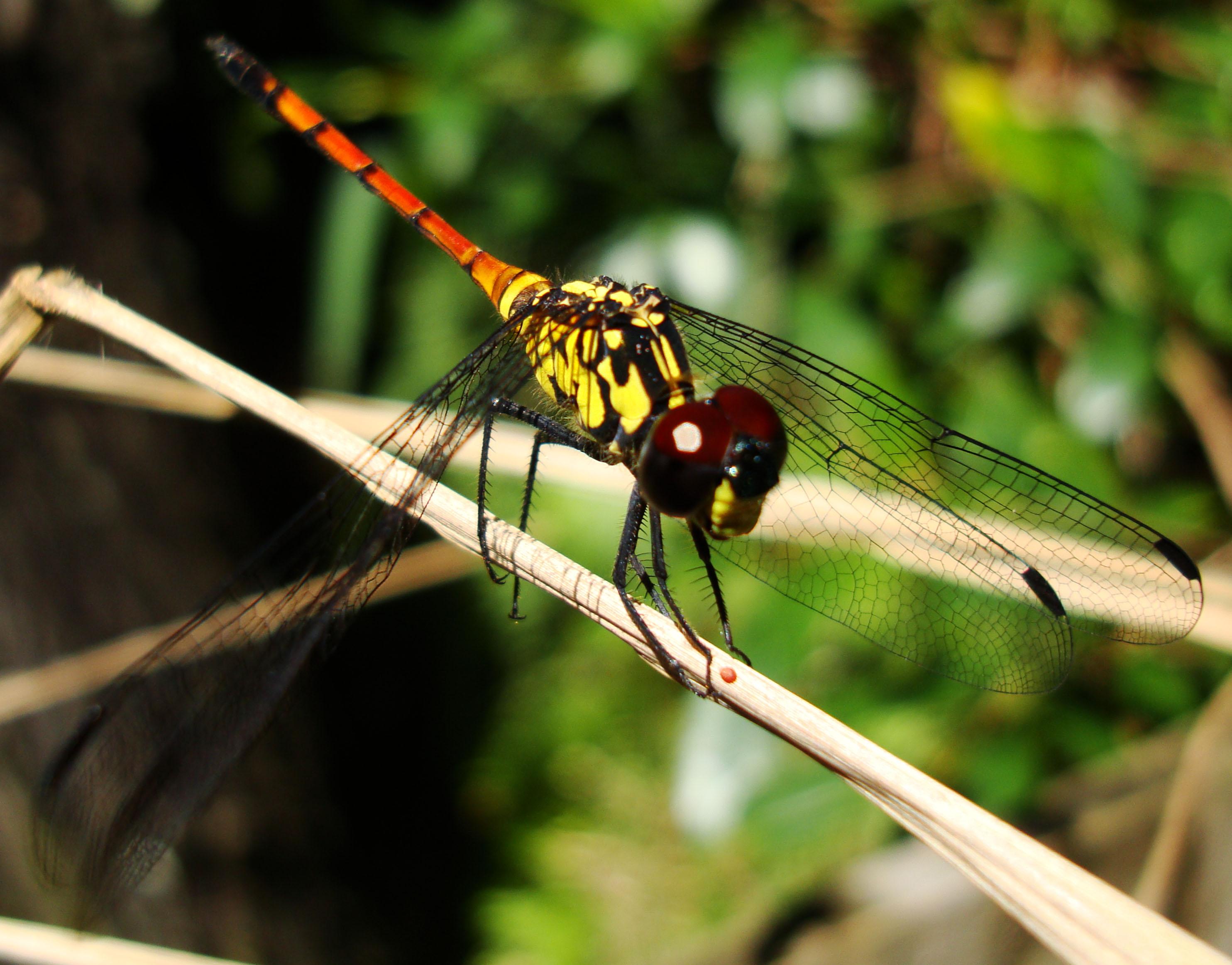 Libellulidae Red Swampdragon Agrionoptera insignis allogenes Sunshine Coast Qld Australia 141