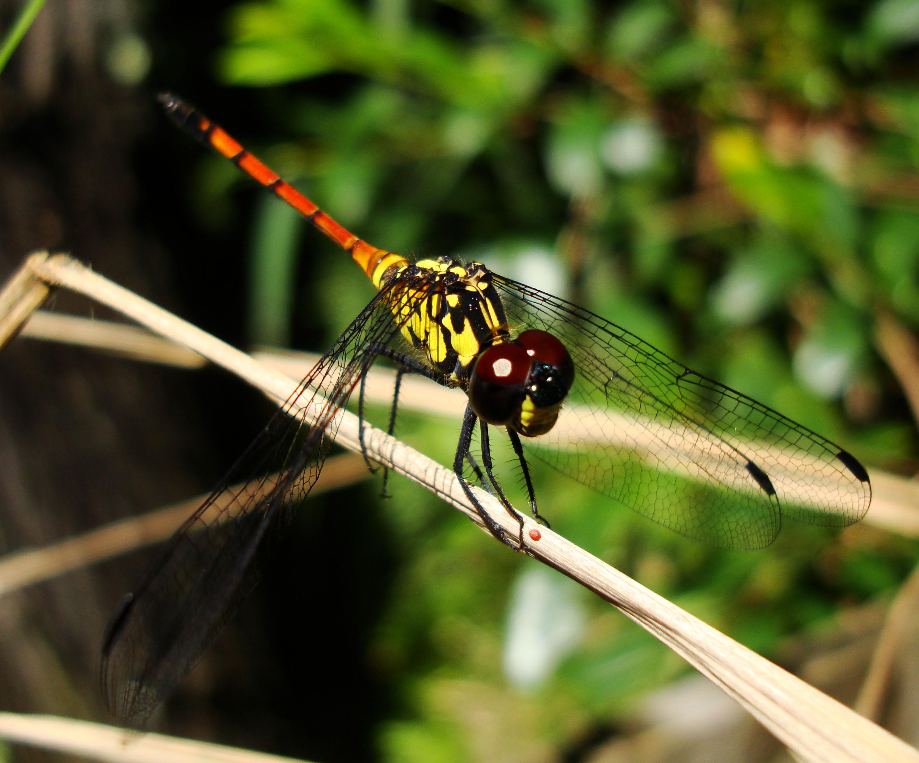 Libellulidae Red Swampdragon Agrionoptera insignis allogenes Sunshine Coast Qld Australia 142