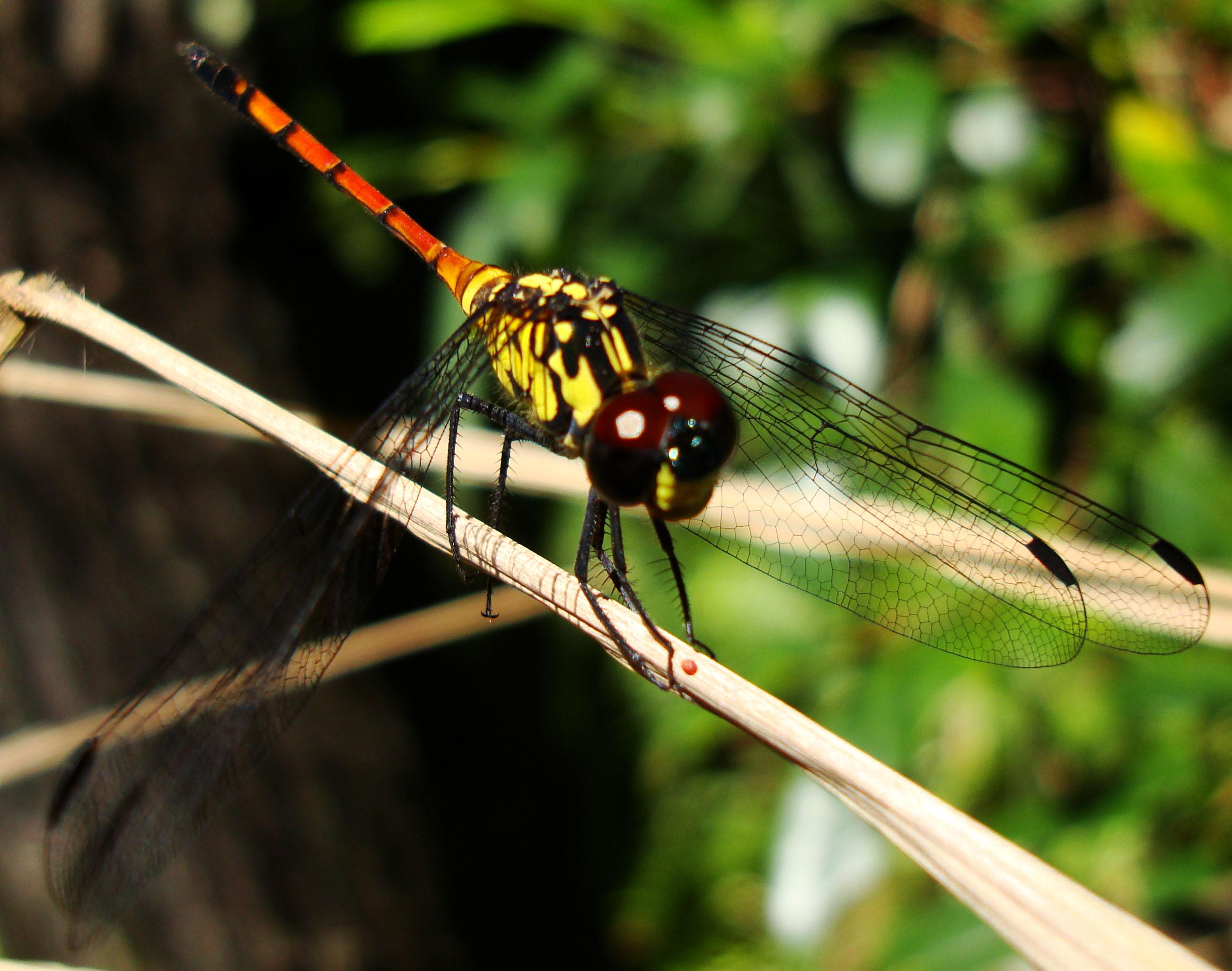 Libellulidae Red Swampdragon Agrionoptera insignis allogenes Sunshine Coast Qld Australia 144