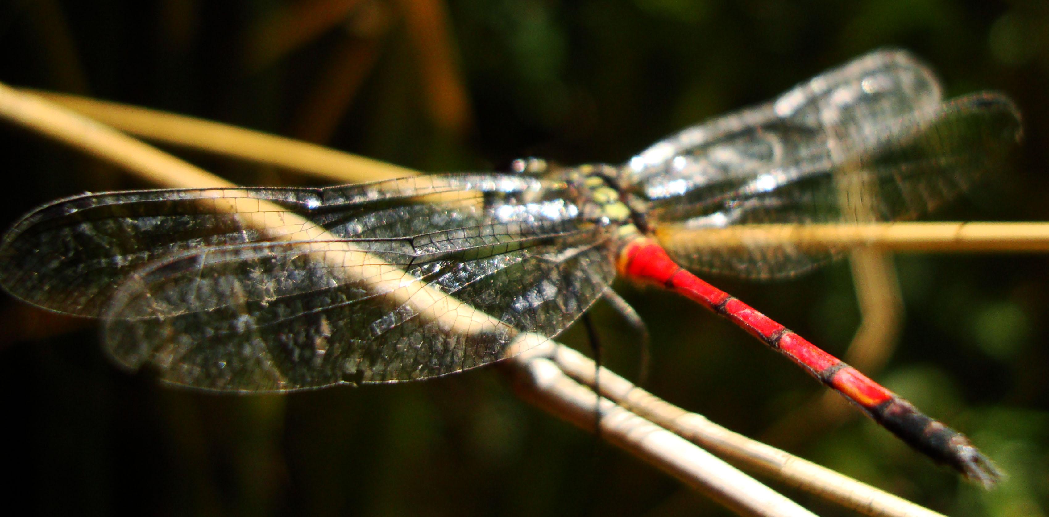 Libellulidae Red Swampdragon Agrionoptera insignis allogenes Sunshine Coast Qld Australia 150