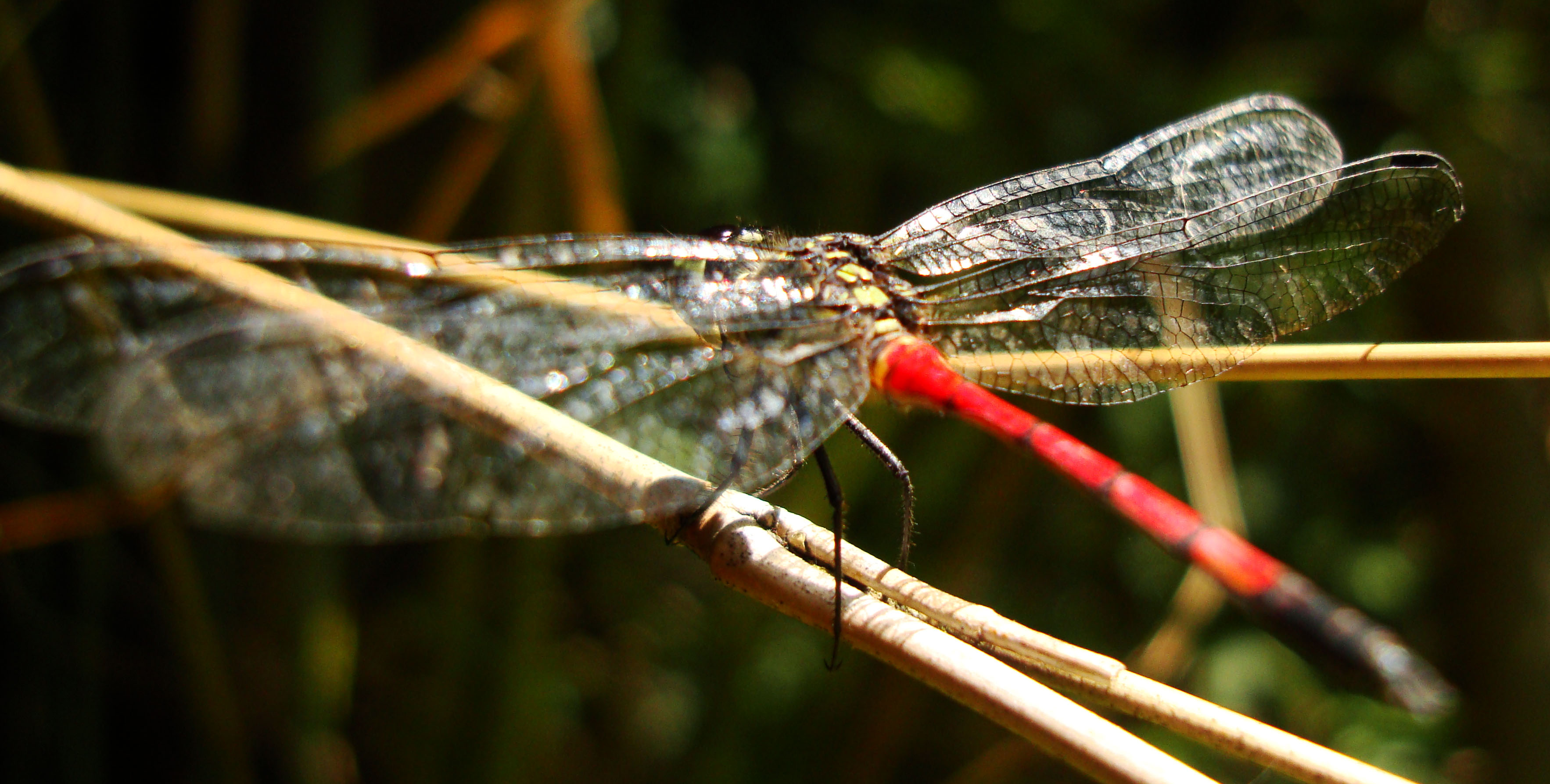 Libellulidae Red Swampdragon Agrionoptera insignis allogenes Sunshine Coast Qld Australia 151
