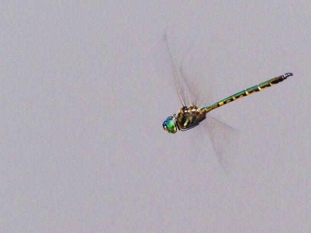 Libellulidae Tau Emerald Dragonfly Order Odonata 01