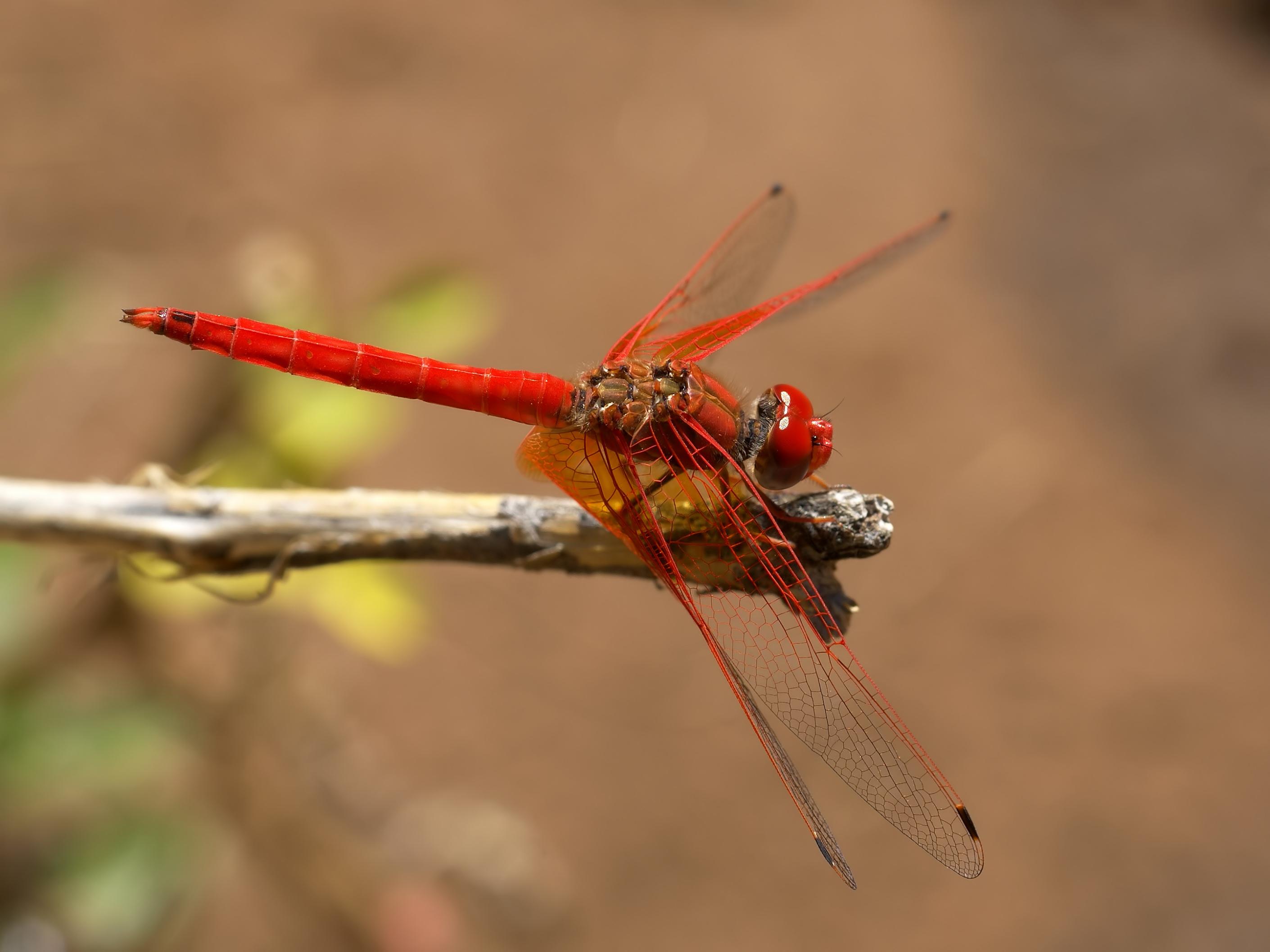 Libellulidae Trithemis kirbyi 01