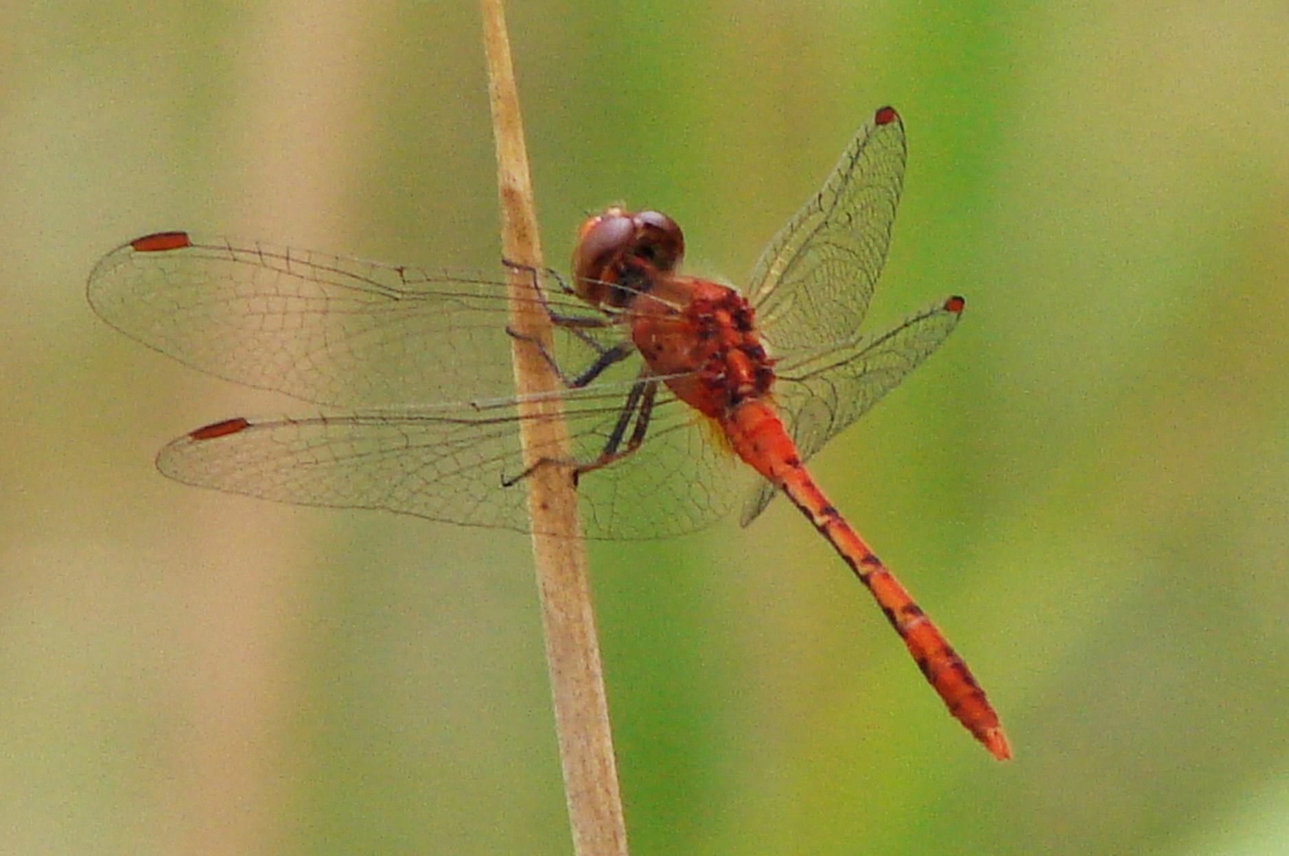 Libellulidae Wandering Percher Dragonfly Diplacodes bipunctata 01