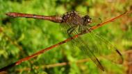 Asisbiz Libellulidae Fiery Skimmer Dragonfly Orthetrum villosovittatum female 03