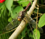 Asisbiz Libellulidae Fiery Skimmer Dragonfly Orthetrum villosovittatum female 06