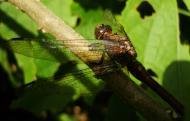 Asisbiz Libellulidae Fiery Skimmer Dragonfly Orthetrum villosovittatum female 12