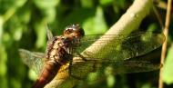 Asisbiz Libellulidae Fiery Skimmer Dragonfly Orthetrum villosovittatum female 13