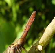Asisbiz Libellulidae Fiery Skimmer Dragonfly Orthetrum villosovittatum female 14