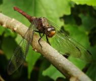 Asisbiz Libellulidae Fiery Skimmer Dragonfly Orthetrum villosovittatum female 16