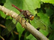 Asisbiz Libellulidae Fiery Skimmer Dragonfly Orthetrum villosovittatum female 17