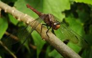 Asisbiz Libellulidae Fiery Skimmer Dragonfly Orthetrum villosovittatum female 18