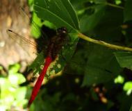 Asisbiz Libellulidae Fiery Skimmer Dragonfly Orthetrum villosovittatum male 01
