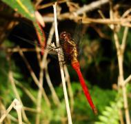 Asisbiz Libellulidae Fiery Skimmer Dragonfly Orthetrum villosovittatum male 02