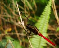 Asisbiz Libellulidae Fiery Skimmer Dragonfly Orthetrum villosovittatum male 03