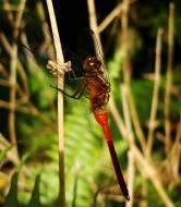 Asisbiz Libellulidae Fiery Skimmer Dragonfly Orthetrum villosovittatum male 04