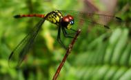 Asisbiz Libellulidae Red Swampdragon Agrionoptera insignis allogenes Sunshine Coast Qld Australia 006