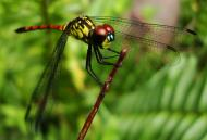 Asisbiz Libellulidae Red Swampdragon Agrionoptera insignis allogenes Sunshine Coast Qld Australia 007