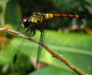 Asisbiz Libellulidae Red Swampdragon Agrionoptera insignis allogenes Sunshine Coast Qld Australia 011