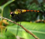 Asisbiz Libellulidae Red Swampdragon Agrionoptera insignis allogenes Sunshine Coast Qld Australia 012