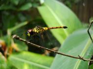 Asisbiz Libellulidae Red Swampdragon Agrionoptera insignis allogenes Sunshine Coast Qld Australia 016