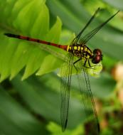 Asisbiz Libellulidae Red Swampdragon Agrionoptera insignis allogenes Sunshine Coast Qld Australia 052
