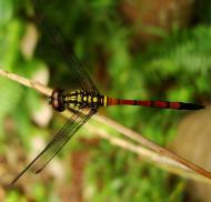 Asisbiz Libellulidae Red Swampdragon Agrionoptera insignis allogenes Sunshine Coast Qld Australia 055