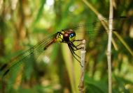 Asisbiz Libellulidae Red Swampdragon Agrionoptera insignis allogenes Sunshine Coast Qld Australia 070